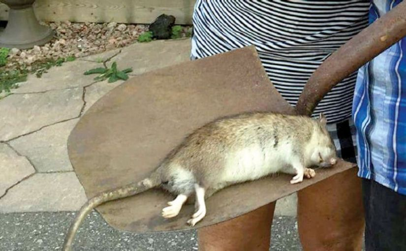 Rat sucked my nipple while i slept naked –Lady