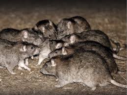Rats eat up a baby at Anambra hospital