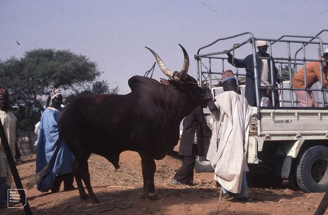 Salah cow to be killed, refuses to die attacks twomen