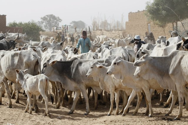 RUGA, Settlement: Akwa Ibom Government Imports 2000 Cows FromBrazil