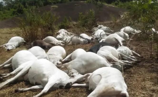 Thirty Cows suddenly dies inOndo