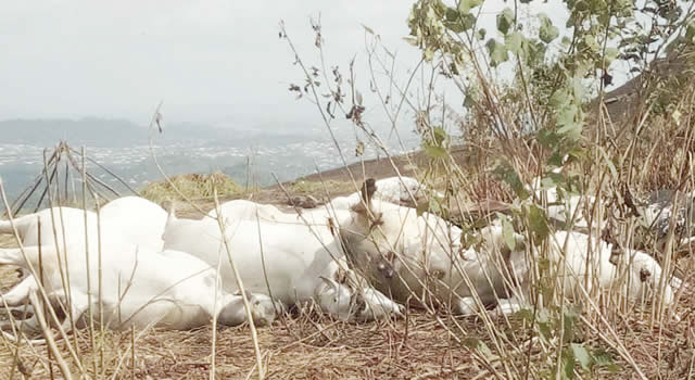 8 Cows Killed By Lighting In OndoState