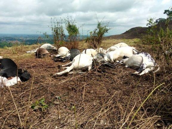 Lightning Kills 19 Cows In Iba,Osun