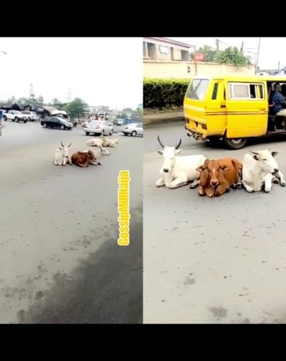 Human Like Cows Seen Sitting And Relaxing Comfortably On The Road