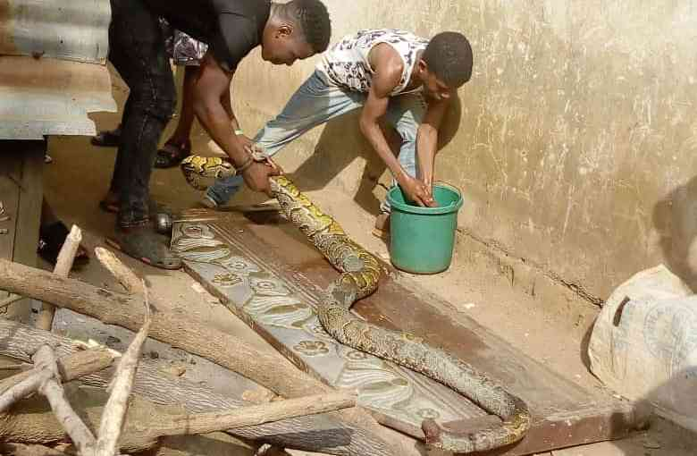 Big Python Threatening Tai Solarin University Of Education (TASUED) Killed
